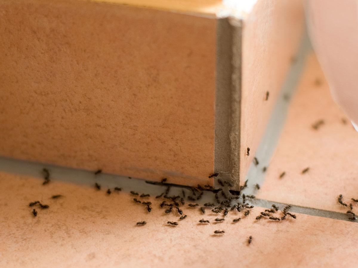 Ameisen in Haus und Wohnung vertreiben  selbermachen.de