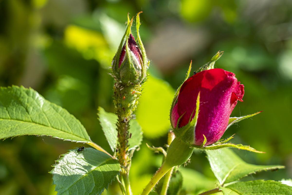 Rosenblätter rollen sich ein